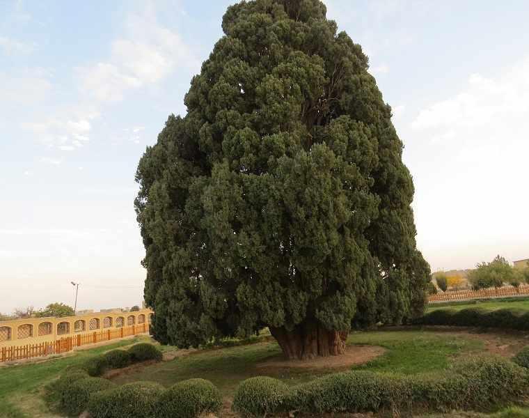 درخت سرو 4500 ساله، درختی که به دستان زرتشت کاشته شد