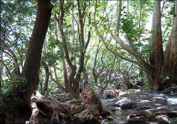 درخت کهنسال چنار روستای رزگ